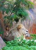 męski lwa biel Obrazy Stock
