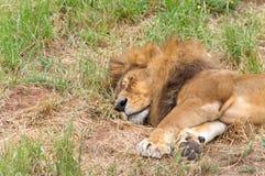 Męski lwa drzemanie w trawie Obrazy Stock