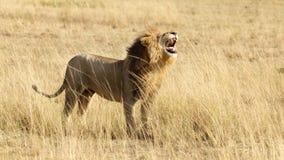 Męski lwa huczenie, boczny widok Fotografia Royalty Free