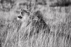Męski lwa huczenie przy etosha parkiem narodowym Obraz Stock