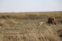 Męski lwa huczenie w maasai Mara fotografia royalty free