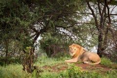 Męski lwa lying on the beach na kopu w drzewach Obraz Royalty Free