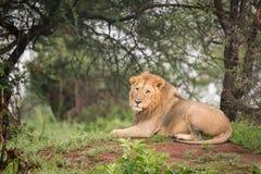 Męski lwa lying on the beach w drewnach na kopu Obrazy Royalty Free