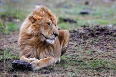 Męski lwa lying on the beach w trawie przy zmierzchu Masai Mara Fotografia Stock