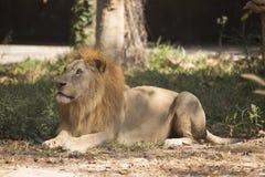 Męski lwa obsiadanie Zdjęcia Stock