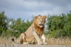 Męski lwa obsiadanie na drodze Obraz Royalty Free