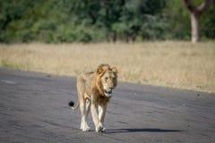 Męski lwa odprowadzenie na drodze Obrazy Royalty Free