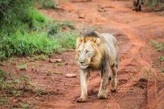 Męski lwa odprowadzenie w kierunku kamery Obrazy Royalty Free