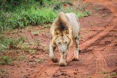 Męski lwa odprowadzenie w kierunku kamery Fotografia Stock