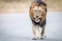 Męski lwa odprowadzenie w kierunku kamery w Kruger parku narodowym Zdjęcie Royalty Free