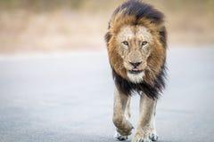 Męski lwa odprowadzenie w kierunku kamery w Kruger parku narodowym Fotografia Royalty Free