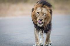 Męski lwa odprowadzenie w kierunku kamery w Kruger parku narodowym Obrazy Stock