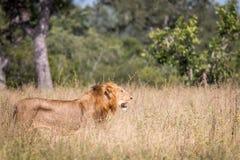 Męski lwa odprowadzenie w trawie Zdjęcia Stock