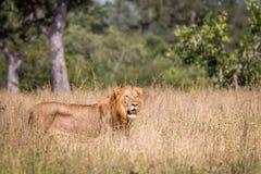 Męski lwa odprowadzenie w trawie Fotografia Stock