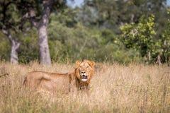 Męski lwa odprowadzenie w trawie Obrazy Royalty Free