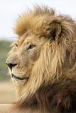 Męski lwa portret Obrazy Royalty Free