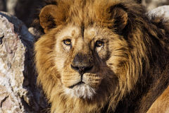 Męski lwa portret na sawannowym safari Zdjęcie Stock
