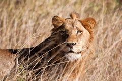 Męski lwa spacer w brown trawie Zdjęcia Stock