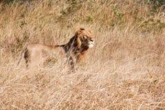 Męski lwa spacer w brown trawie Fotografia Royalty Free