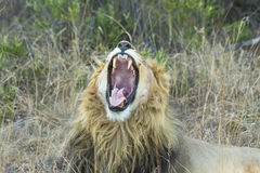 Męski lwa ziewanie w cieniu Zdjęcia Stock