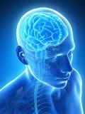 Męski mózg royalty ilustracja