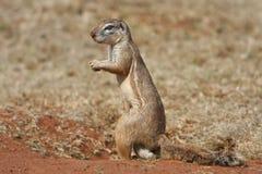 męski meerkat Fotografia Royalty Free