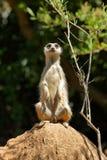 męski meerkat Zdjęcie Royalty Free