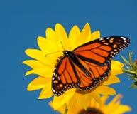 Męski Monarchiczny motyl dorsalny widok Obraz Royalty Free