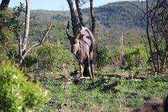 Męski Nyala w afrykanina krajobrazie Fotografia Royalty Free