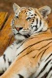 męski odpoczynkowy tygrys Zdjęcie Stock