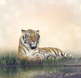 męski odpoczynkowy tygrys Obraz Royalty Free