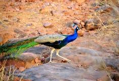 Męski peafowl ptak (paw) fotografia stock