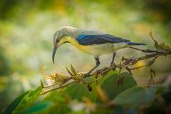 M?ski purpurowy sunbird w non l?gowym upierzeniu zdjęcie royalty free