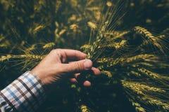 Męski rolnik w pszenicznym polu Zdjęcia Royalty Free