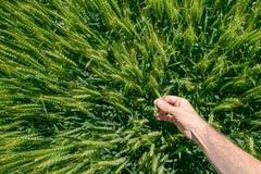 Męski rolnik w pszenicznym polu, osobisty punkt widzenia Obraz Royalty Free