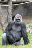 Męski silny goryla obsiadanie na ziemi przy zoo Fotografia Royalty Free