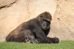 Męski silverback goryl, pojedynczy ssak na trawie Obraz Stock