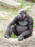 Męski silverback goryl, pojedynczy ssak na trawie Obraz Royalty Free