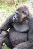 Męski silverback goryl, pojedynczy ssak na trawie Fotografia Stock