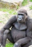 Męski silverback goryl, pojedynczy ssak na trawie Obrazy Stock