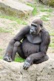 Męski silverback goryl, pojedynczy ssak na trawie Zdjęcia Stock