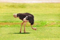 Męski strusi karmienie na obszarze trawiastym Afryka Zdjęcie Royalty Free