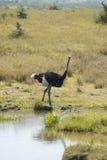 Męski Strusi pobliski staw w Lewa Conservancy, Kenja, Afryka Zdjęcie Stock