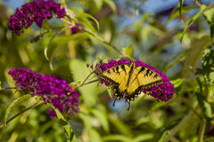 męski swallowtail wschodnie tygrysa Obraz Stock