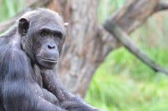 Męski szympansa portret Fotografia Stock