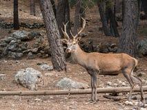 Męski trzcinowy jeleni Cervus elaphus w lesie Obraz Royalty Free