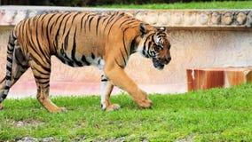 Męski tygrys Fotografia Royalty Free