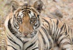 Męski tygrys Obraz Stock