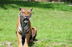 Męski tygrysi obsiadanie Fotografia Royalty Free