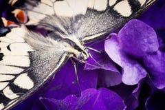 Męski tygrysi swallowtail motyl na kwiacie Zdjęcia Stock